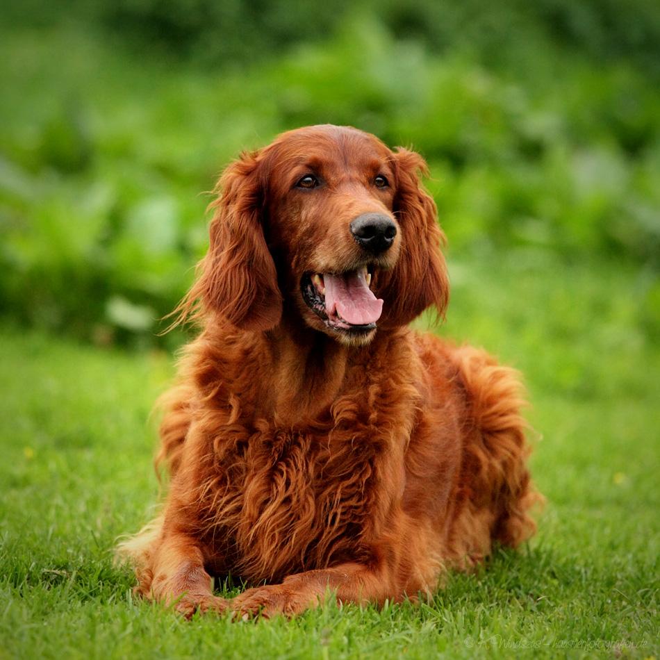 Dog Breed That Looks Like A Rug: Irish Setter: Breed History