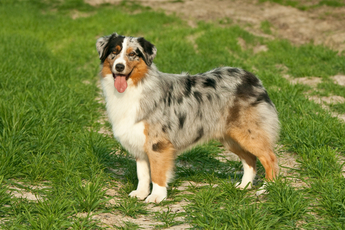 Australian Shepherd Shedding Canineplanetnet