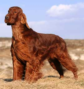 Irish Setter More Training Irish Setter Training