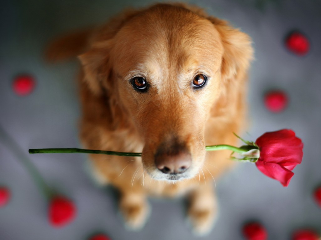 Retriever with Rose