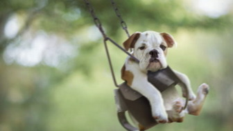 Bulldog puppy in swing