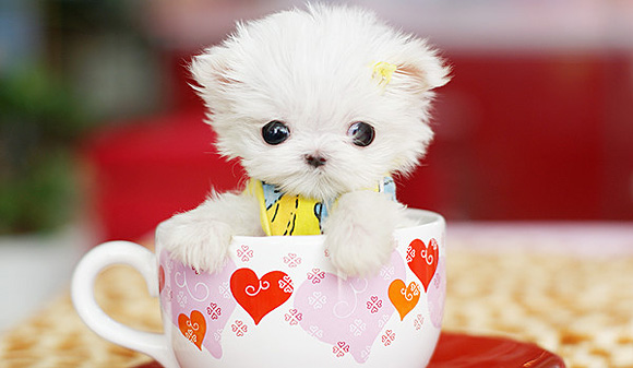 Cute Teacup Puppy